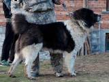 болгарская овчарка стандарт