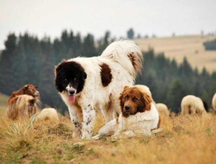 две болгарские овчарки