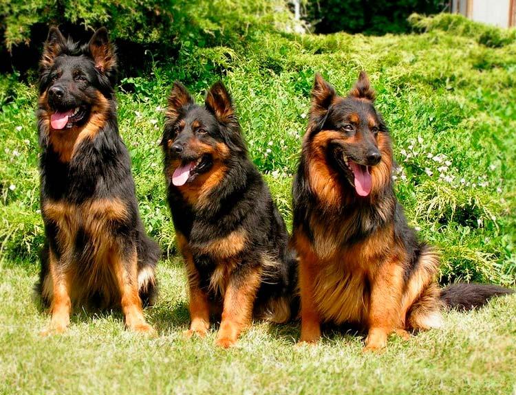 три ходские овчарки