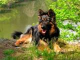 ходская собака фото