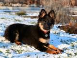 щенок чешской овчарки