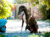 порода собак хортая борзая