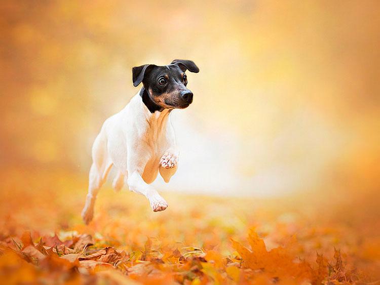 Японски териер (mikado terrier, японски фокстерьор, kobe terrier)