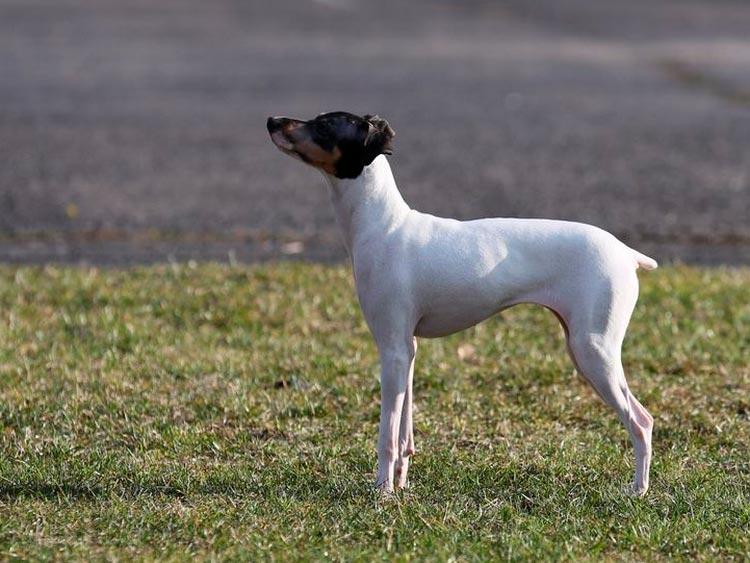 порода собак Японский терьер