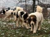 собака Торньяк характер