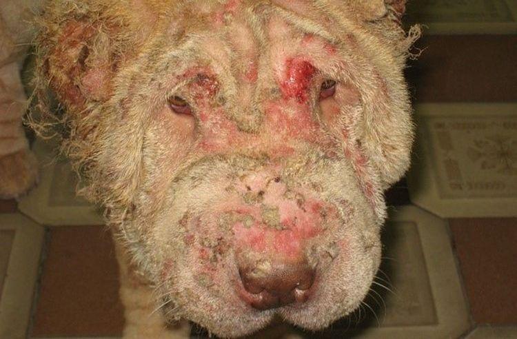Нотоэдроз у собак