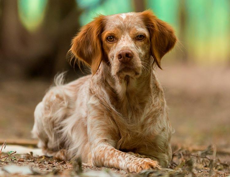 собака породы Бретонский эпаньоль