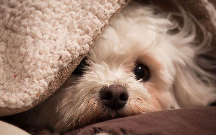Собака прячется под одеяло