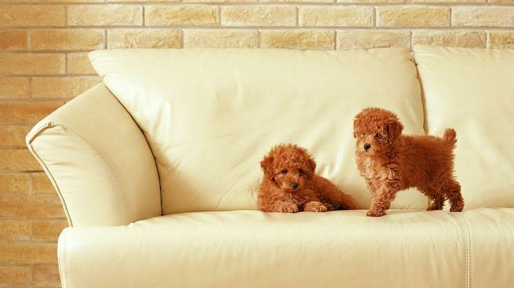Собака писает на диван