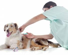 Как сделать прививку собаке