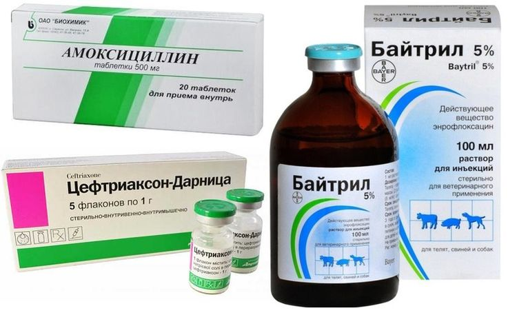 Антибиотики простатит у собаки простатит снизилось либидо