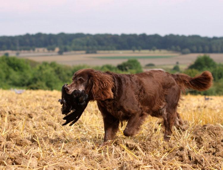 Немецкий ландхаар в поле