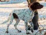 Немецкий ландхаар собака
