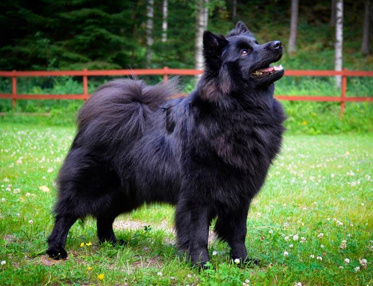 собака породы Шведский лаппхунд