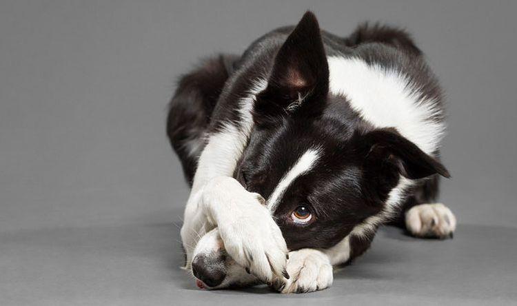 Собака закрывает нос лапой