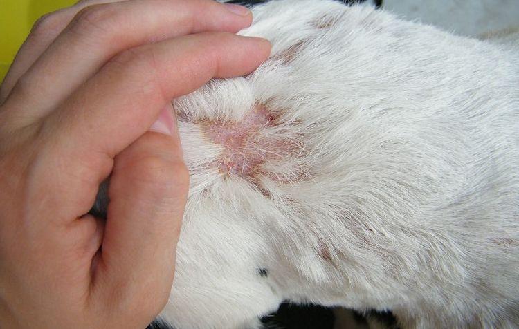 Стафилококк у собак: фото