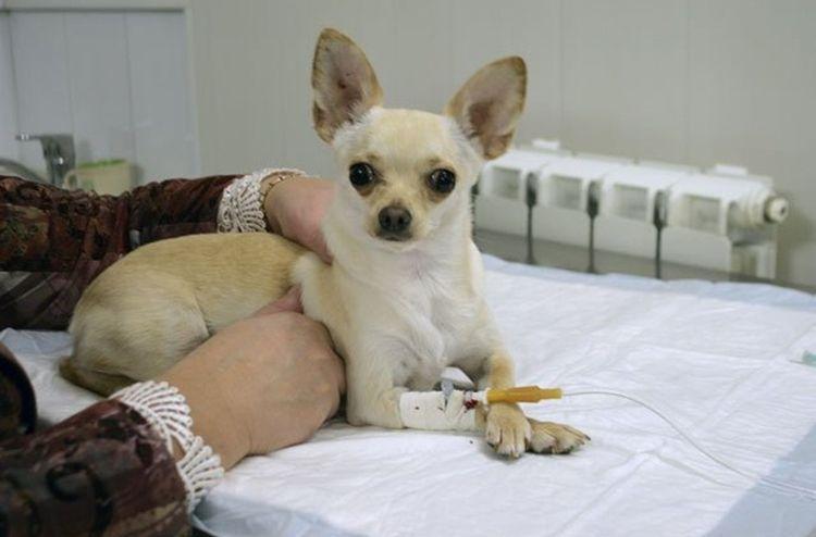 Инфузионная терапия (капельницы) собаке