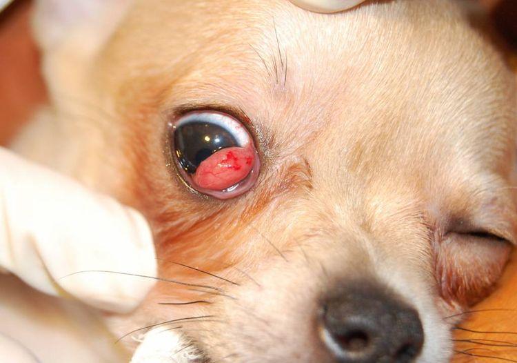 Аденома у собаки