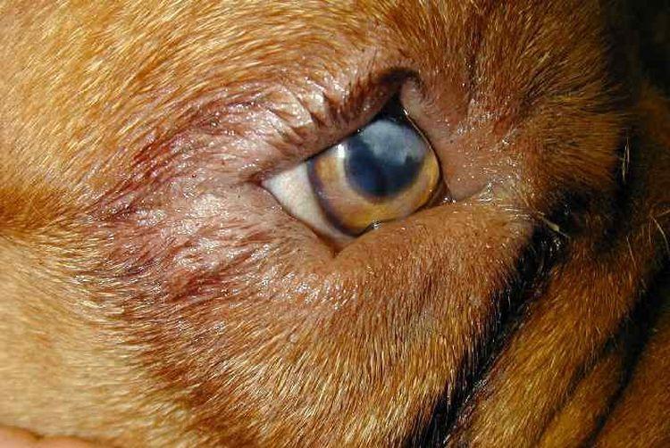 Заворот третьего века у собаки