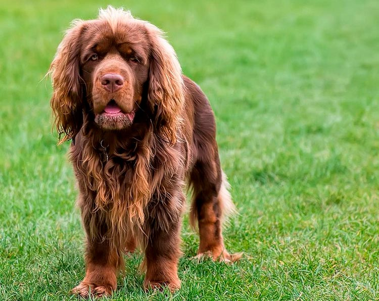 порода собак Суссекс-спаниель