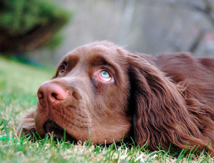 собака породы Суссекс-спаниель