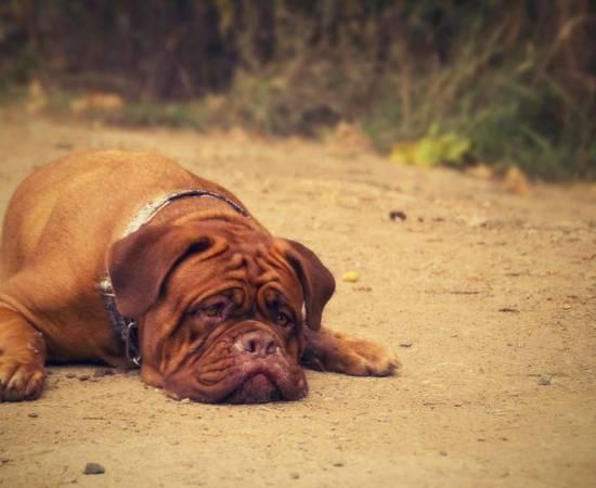 Болезнь Лайма у собак