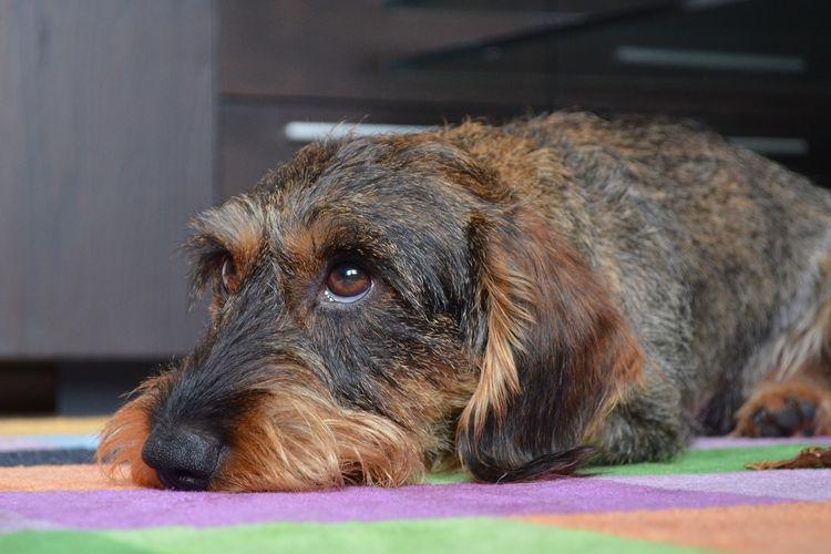 Дископатия у собак