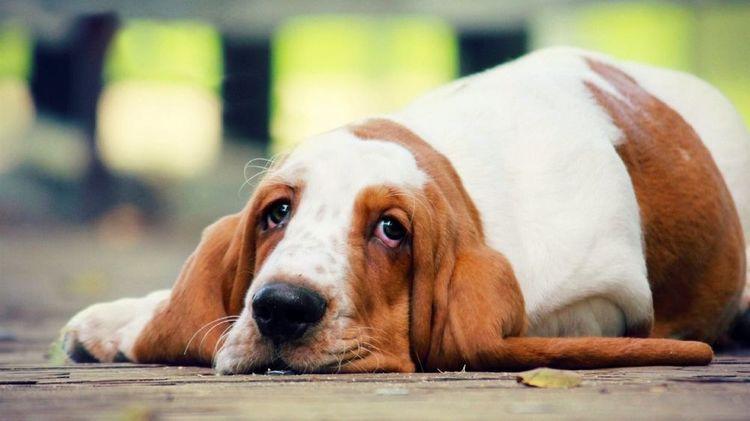 У собаки гастродуоденит