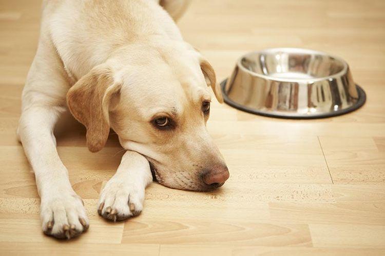 Гастродуоденит у собаки