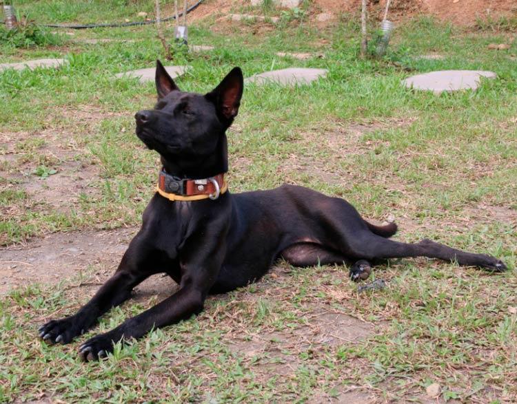 Китайские породы собак формозская собака