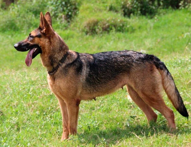 Китайские породы собак куньминская овчарка