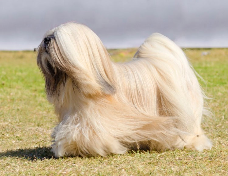 Китайская порода собак