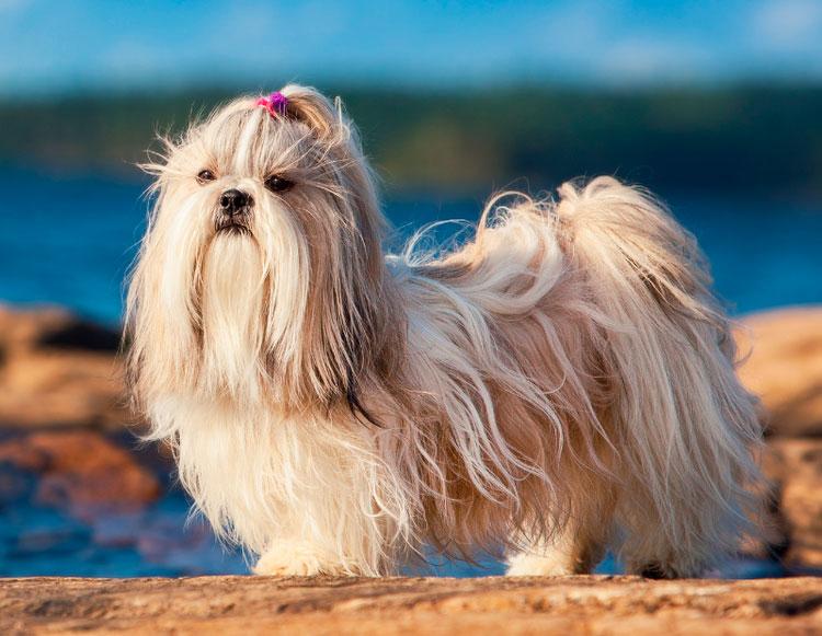 Китайские породы собак ши-тцу