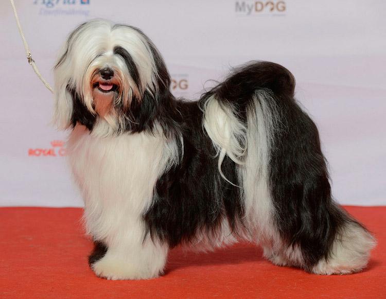 Китайские породы собак тибетский терьер