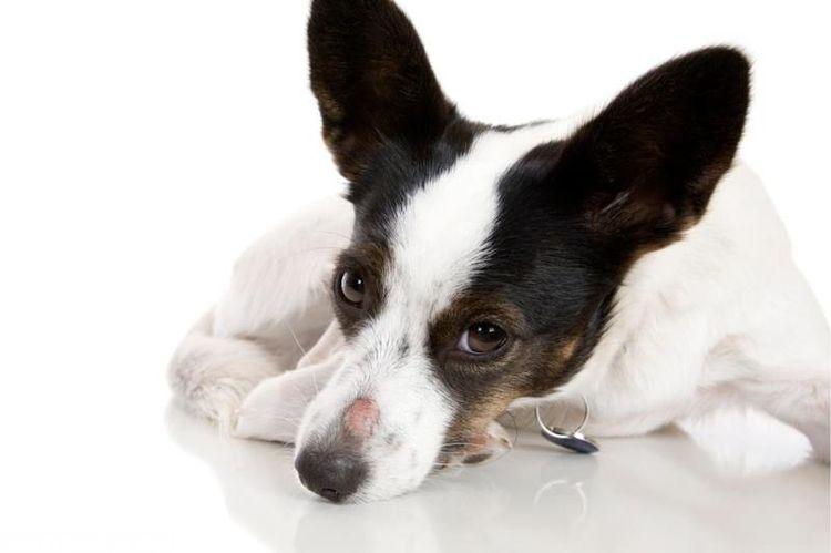 Микроспория у собаки