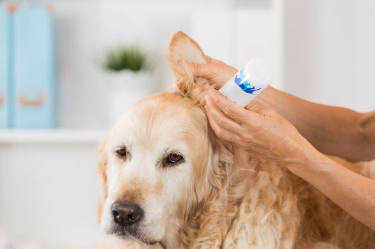 Собаке капают ухо