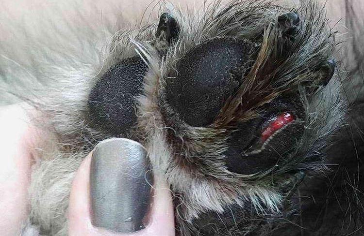 Собака травмировала лапу