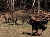 польская гончая для охоты на кабана