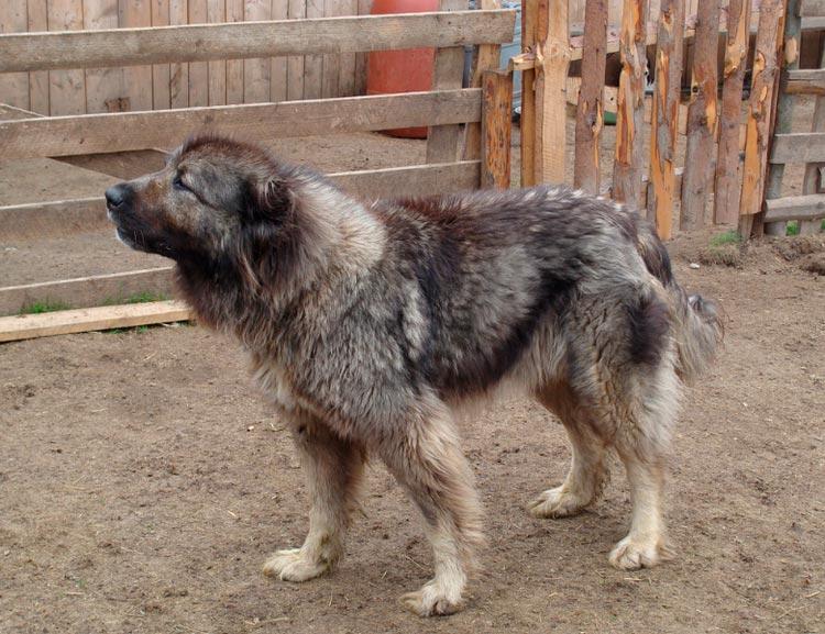карпатская румынская овчарка