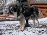 купить румынскую карпатскую овчарку