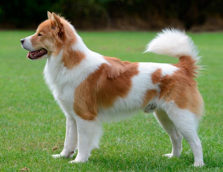 порода собак Тайский бангку