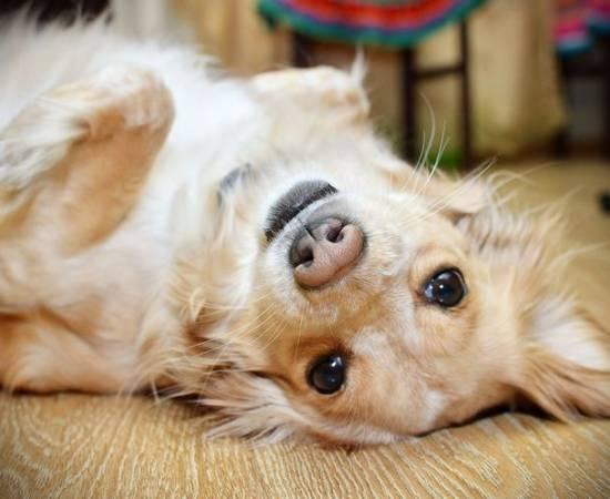 Вестибулярный синдром у собак