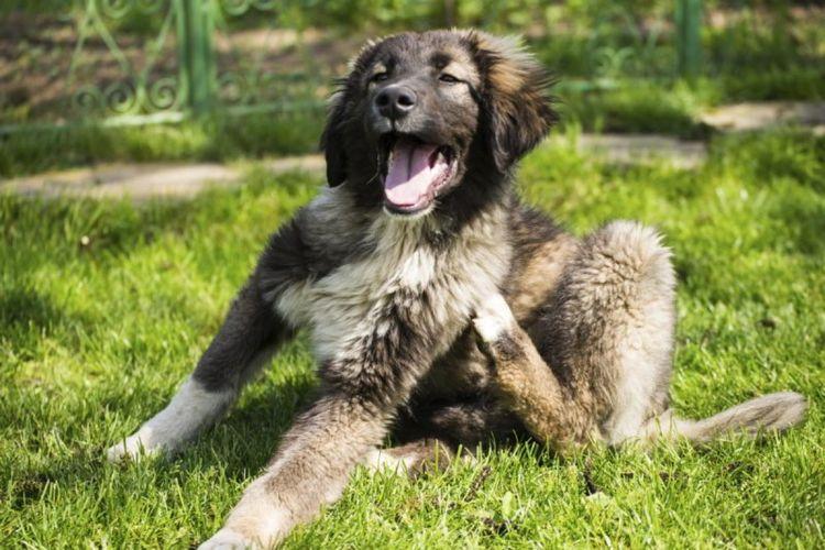 Ядене на уши при кучета: признаци и лечение