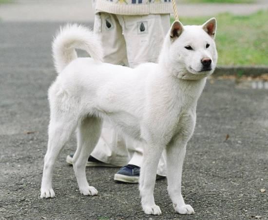 порода собак кисю