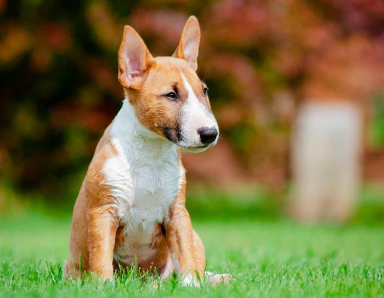 Миниатюрный бультерьер щенок