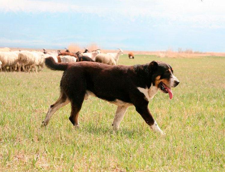 тобет пасет овец