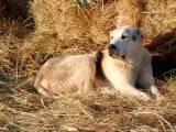 собака тобет на сене