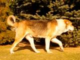 тобет - гроза волков
