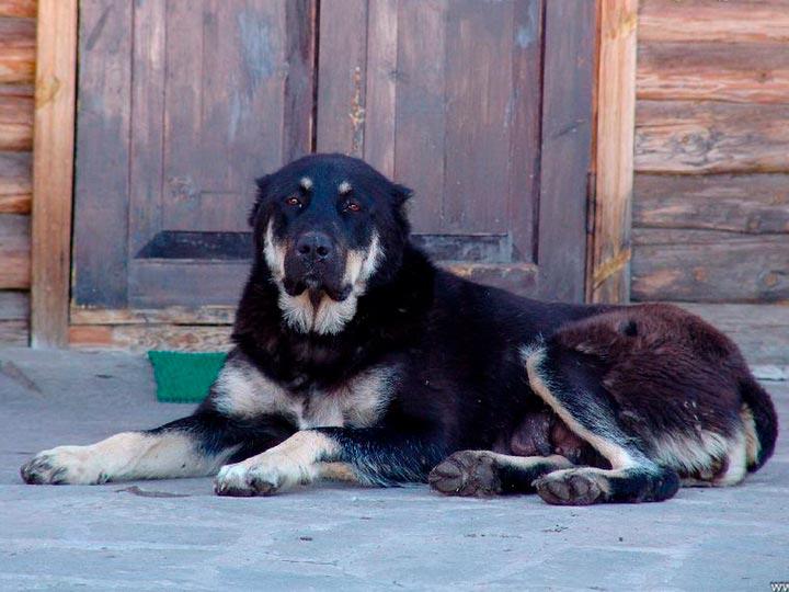 казахский волкодав фото почтенный возраст, держательница