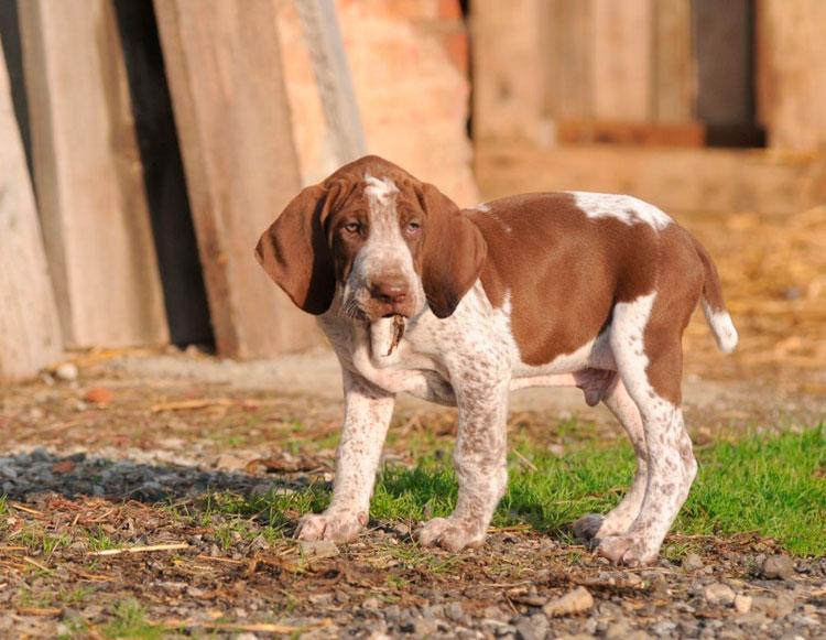 щенок породы Итальянский бракк
